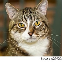 Adopt A Pet :: BUGSY - Reno, NV