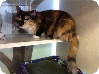 Domestic Mediumhair Cat for adoption in New York, New York - Sassy