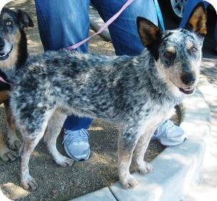 Australian Cattle Dog Dog for adoption in Phoenix, Arizona - Sergio - Adoption Pending