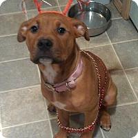 Adopt A Pet :: Amber - Gig Harbor, WA