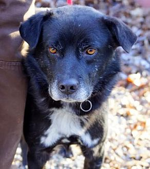 Flat-Coated Retriever/Shepherd (Unknown Type) Mix Dog for adoption in Frenchburg, Kentucky - Bart