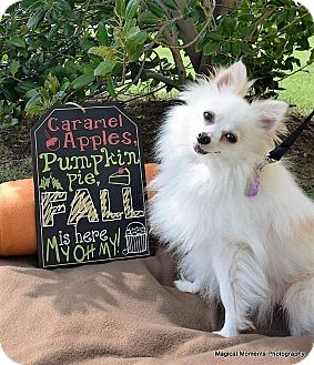 Pomeranian Dog for adoption in Edmond, Oklahoma - Prince Charming