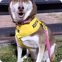 Husky Dog for adoption in Royal Palm Beach, Florida - Foxy