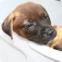 Adopt A Pet :: Caesar - Groton, MA