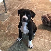 Adopt A Pet :: Cleopatra - Hanover, PA