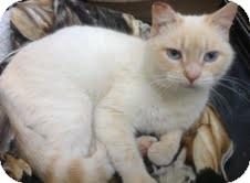 Siamese Cat for adoption in Modesto, California - Flash