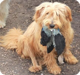 Wheaten Terrier Mix Dog for adoption in Norwalk, Connecticut - Hoda