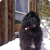 Adopt A Pet :: Dove - Silverthorne, CO