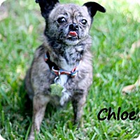 Adopt A Pet :: Chloe - New Orleans, LA