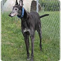 Adopt A Pet :: Bo - Harrisburg, PA