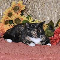 Domestic Shorthair Cat for adoption in Delmont, Pennsylvania - Gemi