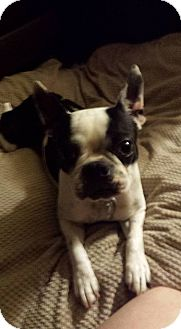 Boston Terrier Mix Dog for adoption in Fort Atkinson, Wisconsin - Jitterbug