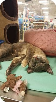 Domestic Shorthair Cat for adoption in Bensalem, Pennsylvania - Maisy