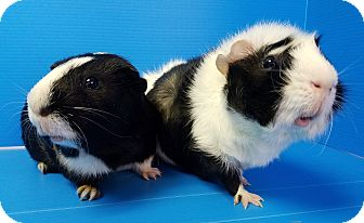 Guinea Pig for adoption in Lewisville, Texas - Crockett and Tubbs