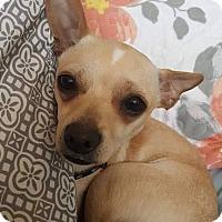 Adopt A Pet :: MonChichi - Allentown, PA