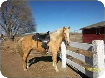 Palomino Mix for adoption in Pueblo, Colorado - Hot Shot