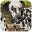 Photo 1 - Dalmatian Dog for adoption in Newcastle, Oklahoma - Pongo