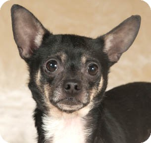 Chihuahua/Rat Terrier Mix Dog for adoption in Chicago, Illinois - Spanky