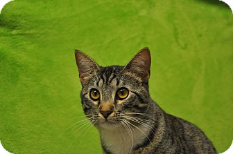 Domestic Shorthair Kitten for adoption in Foothill Ranch, California - Katrina