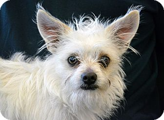 Cairn Terrier Mix Dog for adoption in Cheyenne, Wyoming - Pollomo