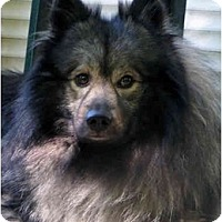 Adopt A Pet :: Harpo - Los Altos, CA
