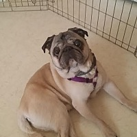 Pug Dog for adoption in Summerfield, North Carolina - 2014-2028 Chopper