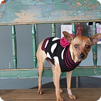 Chihuahua Mix Dog for adoption in San Antonio, Texas - Roada