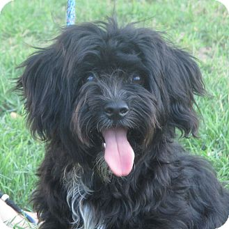 Cockapoo/Maltese Mix Dog for adoption in Turlock, California - Betty Boop