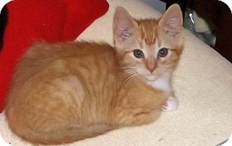 Domestic Shorthair Kitten for adoption in Salem, Oregon - Justin