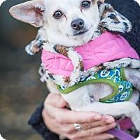 Adopt A Pet :: Chloe - Pitt Meadows, BC