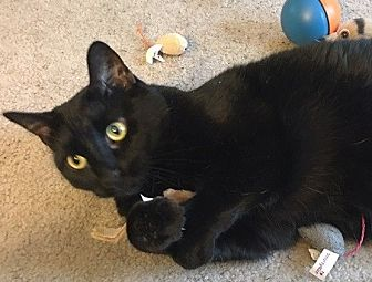 Domestic Shorthair Cat for adoption in Hillside, Illinois - Jasmine-$65-CATNIP, BIRDS & U