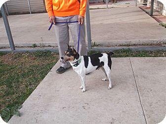 Rat Terrier Dog for adoption in San Antonio, Texas - Bucky