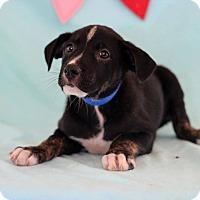 Adopt A Pet :: Garet - Waldorf, MD