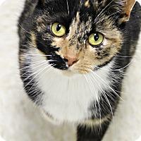 Adopt A Pet :: Nutmeg - Dunkirk, NY