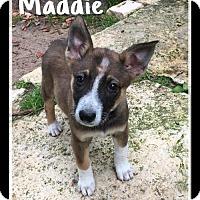 Adopt A Pet :: Maddie - Spring, TX