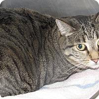 Adopt A Pet :: Yum Yum - Sierra Vista, AZ