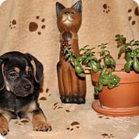 Adopt A Pet :: Gaston - Hagerstown, MD