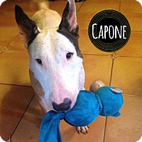 Adopt A Pet :: Capone - Lake Worth, FL