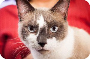 Snowshoe Cat for adoption in Valley Park, Missouri - Wesley