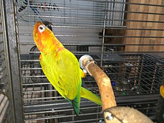 Conure for adoption in Punta Gorda, Florida - Daisy & Gorgeous
