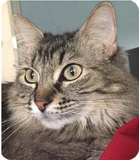 Maine Coon Cat for adoption in Tucson, Arizona - Jane (The Hidden Gem)
