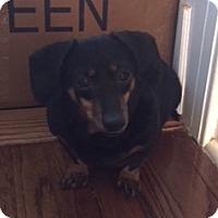 Dachshund Dog for adoption in Armonk, New York - Sasha