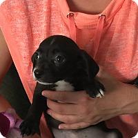 Adopt A Pet :: jett - Santa Ana, CA