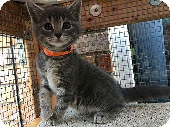 Domestic Mediumhair Kitten for adoption in Burlington, Ontario - Cloud
