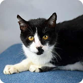 Domestic Shorthair Cat for adoption in Columbia, Illinois - Jed