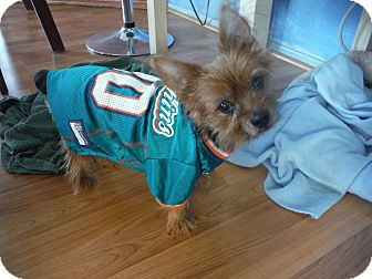 Yorkie, Yorkshire Terrier Dog for adoption in Clearwater, Florida - Diesel