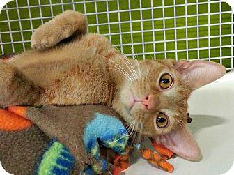 Domestic Shorthair Cat for adoption in Chesapeake, Virginia - Chandler