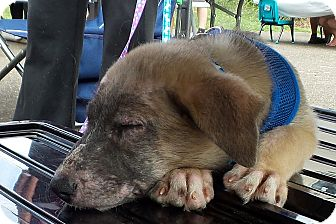 German Shepherd Dog/Great Pyrenees Mix Dog for adoption in Madison, Wisconsin - Fred PENDING!