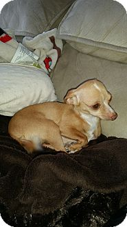Chihuahua Dog for adoption in Lucknow, Ontario - Karley- Lucky to be alive
