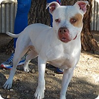 Adopt A Pet :: Ace - Las Vegas, NV